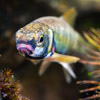 Minnow - freshwater fish - photo by Dave Kilbey
