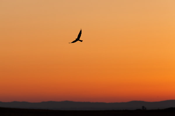 Male Montagu's Harrier at sunrise - Dave Kilbey