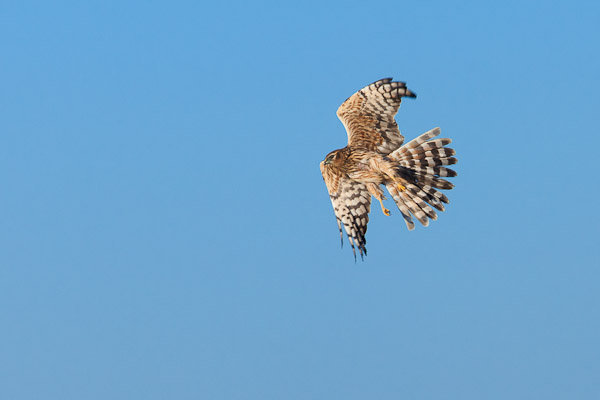 Female Montagu's Harrier in flight - Dave Kilbey