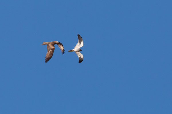 Black Kite chasing a Male Montagu's Harrier - Dave Kilbey