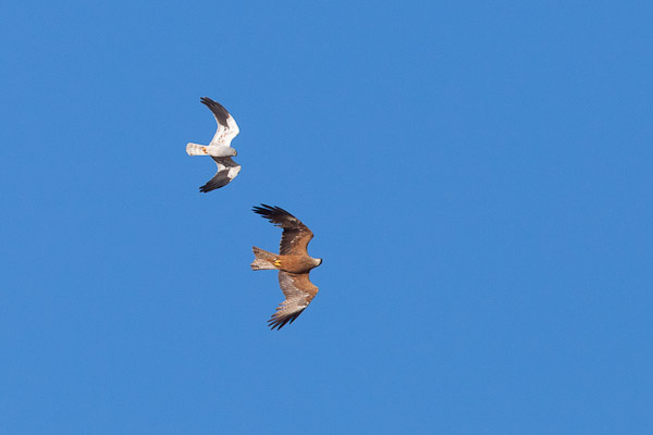 Male Montagu's Harrier seeing off a black kite - Dave Kilbey