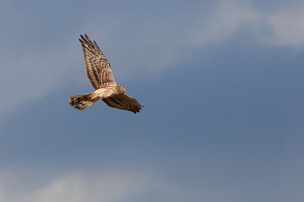 Female Montagu's Harrier hunting - Dave Kilbey