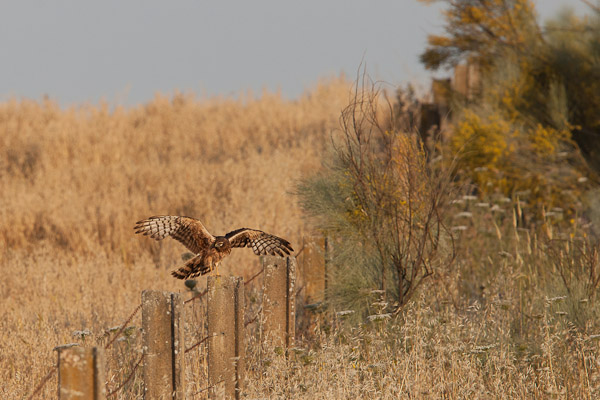 Female Montagu's Harrier alighting on a post- Dave Kilbey
