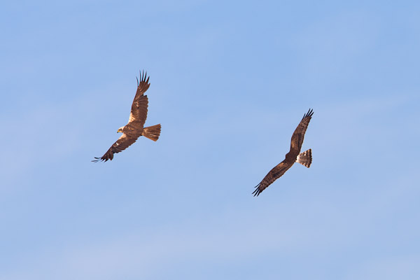 Female Montagu's Harrier chasing off a female marsh harrier - Dave Kilbey