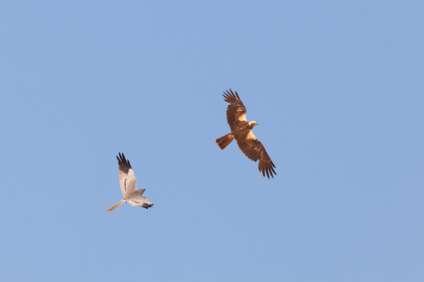 Male Montagu's Harrier seeing off a female marsh harrier - Dave Kilbey