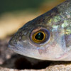 Perch - freshwater fish - photo by Dave Kilbey