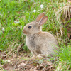 Young rabbit sitting outside burrow