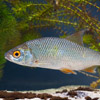 Roach - freshwater fish - photo by Dave Kilbey