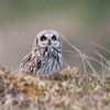 Short-eared Owl by Dave Kilbey