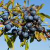 Blackthorn bush - sloe berries