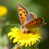Small Copper butterfly - photo by Dave Kilbey