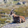 Spanish Ibex in the Sierra de Gredos, Spain