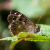 Speckled Wood Butterfly with wings closed - photo by Dave Kilbey