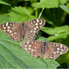 Speckled Wood butterfly by Dave Kilbey
