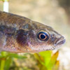 Nine-spined Stickleback - freshwater fish - photo by Dave Kilbey
