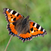 Small Tortoiseshell butterfly - photo by Dave Kilbey
