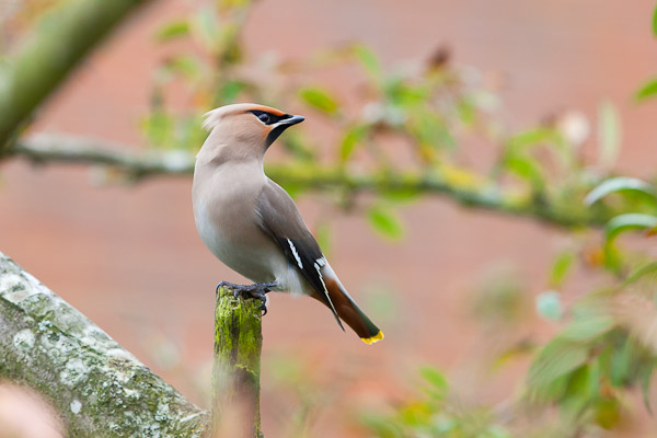 Waxwing by Dave Kilbey