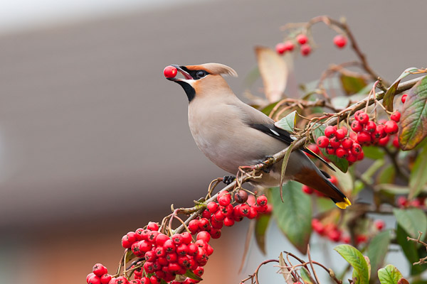 Waxwing eating berry by Dave Kilbey