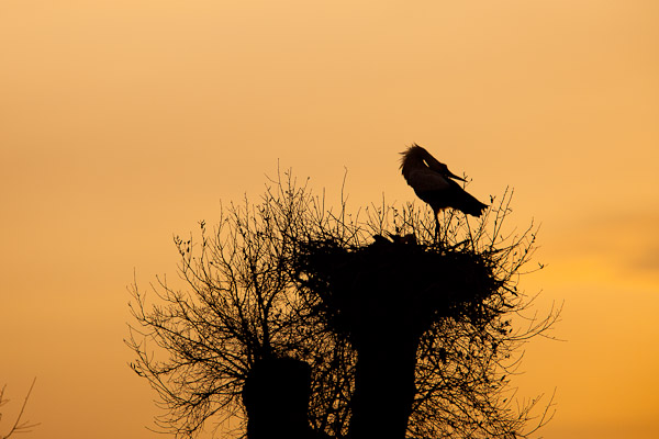 White stork displaying on nest at sundown - Dave Kilbey