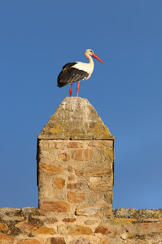 White stork on Monroy Castle wall - Dave Kilbey