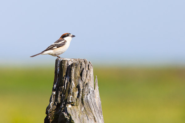 Woodchat shrike sitting on a post - Dave Kilbey