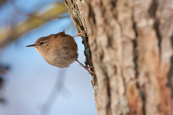 Wren by Dave Kilbey