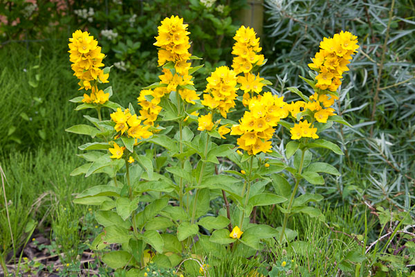 Dave kilbey photography plants and landscapes flowering plants yellow loosestrife mightylinksfo